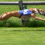 SPCA facts about dog racing